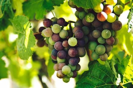 Grapes of the Italian Renaissance